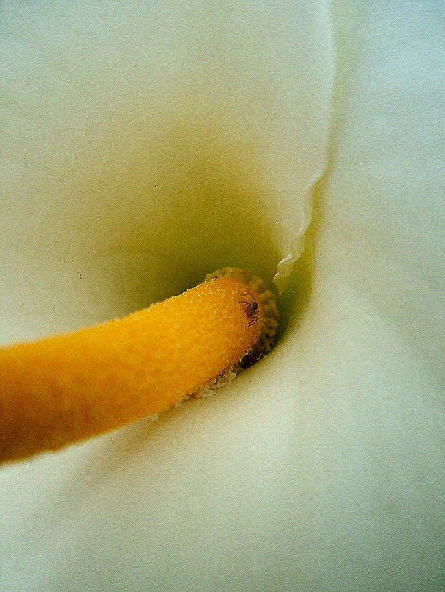 Autumn_calla_with_spider