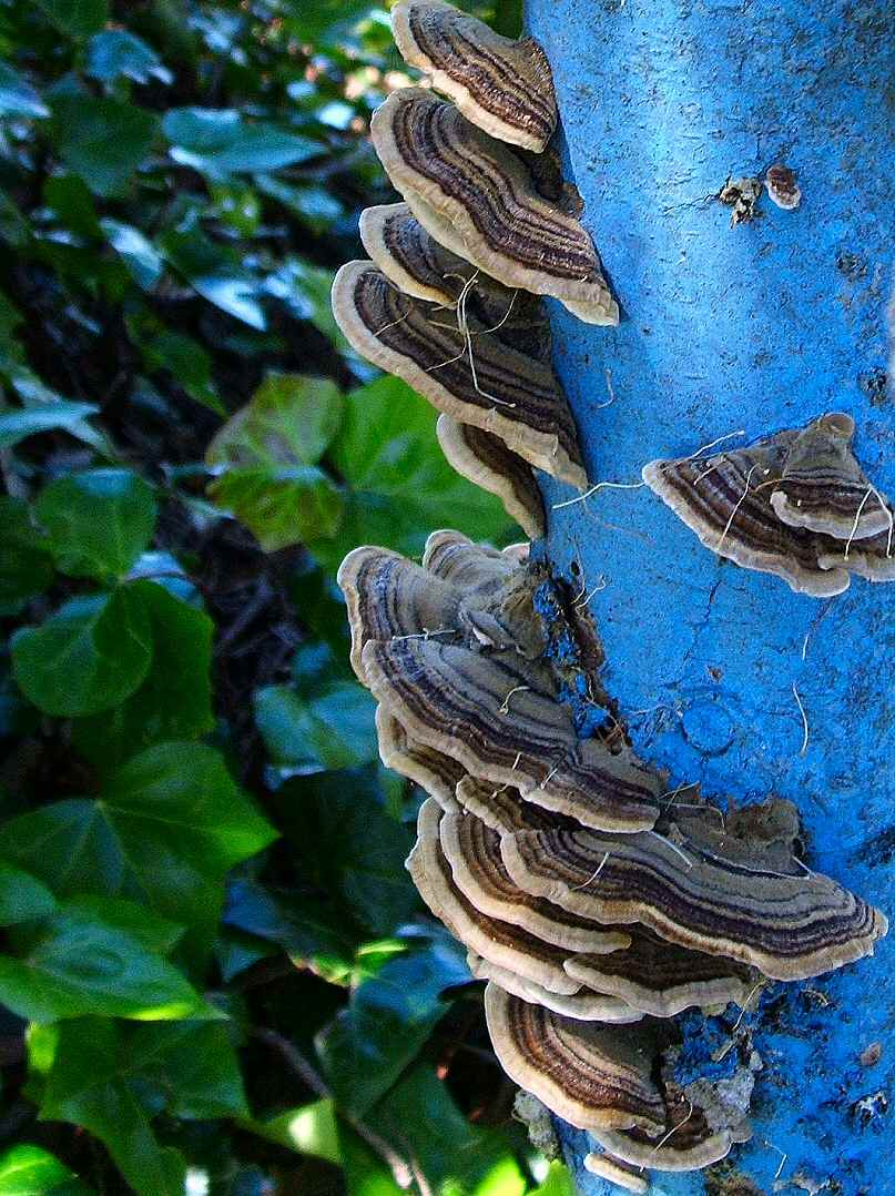 Mushrooms_on_a_blue_tree