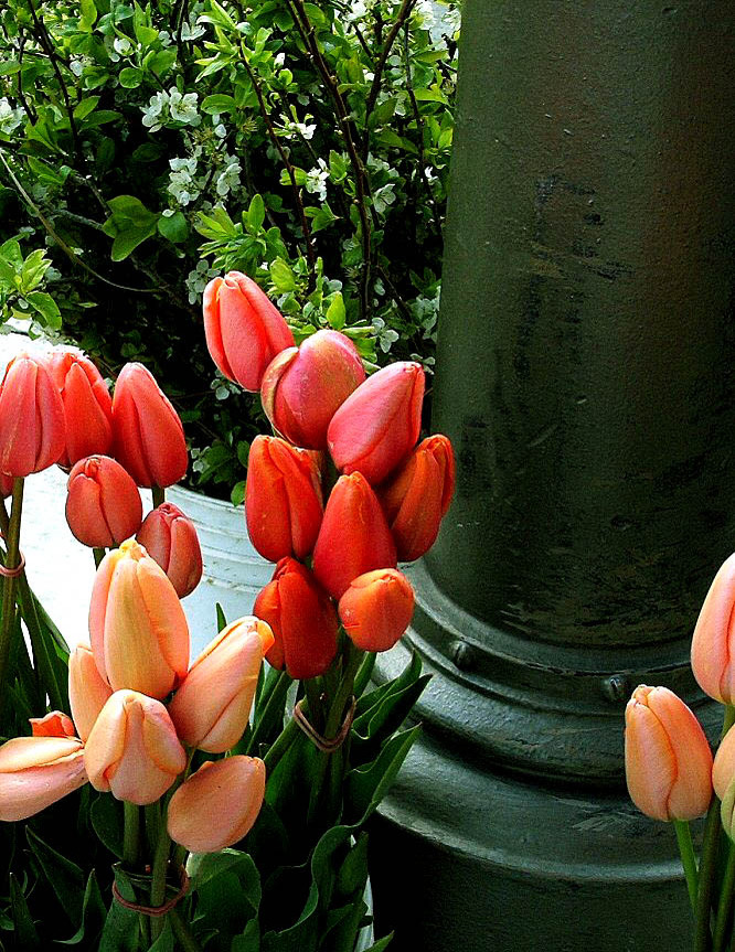 Tulips_for_sale